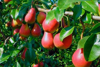 О груше нарядная ефимова: описание сорта, особенности опыления, агротехника выращивания
