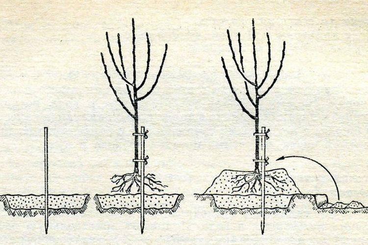 Абрикос саратовский рубин: новинка, достойная внимания | садоводство24
