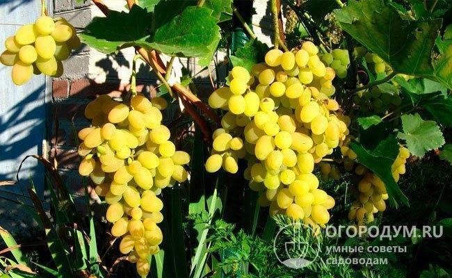 Ранние сорта винограда: сверхранние, ультраранние, суперранние белые, розовые, синие сорта, для юга россии