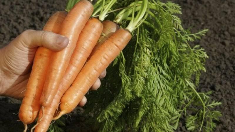 Кормовая морковь. какая польза в сельском хозяйстве.