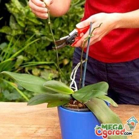 Подробная инструкция, как обрезать фаленопсис после цветения