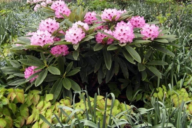 Рододендрон: посадка и уход, особенности размножения и пересадки
