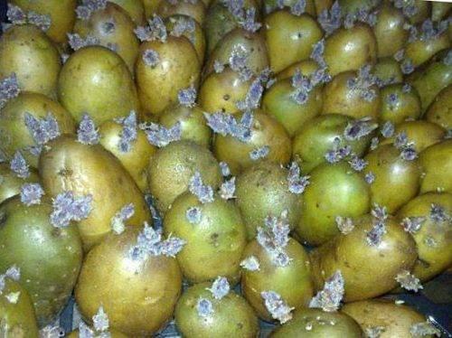Как спасти картофель от колорадского жука? действенные меры перед посадкой и после нее