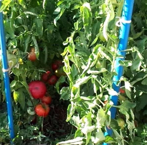 Томат розовый гигант: выращивание и размножение сорта. 115 фото розовых помидор