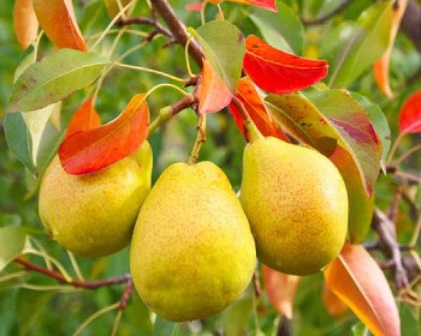 Посадка груши весной — когда и как сажать