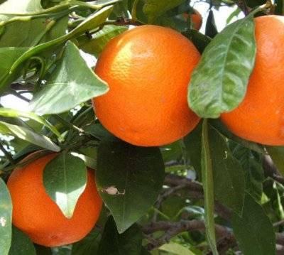 Прививка лимона: врасщеп, копулировка, окулировка   good-tips.pro