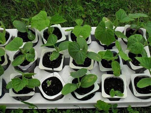 Как отличить рассаду тыквы от кабачка