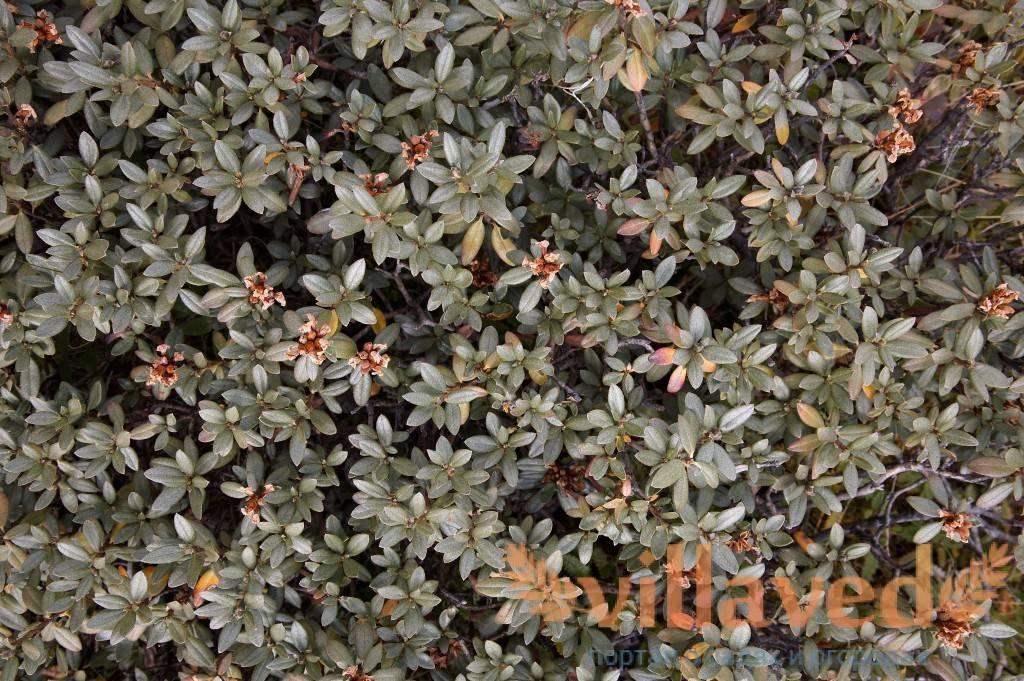 Рододендрон адамса— полезные свойства, применение внародной медицине, противопоказания