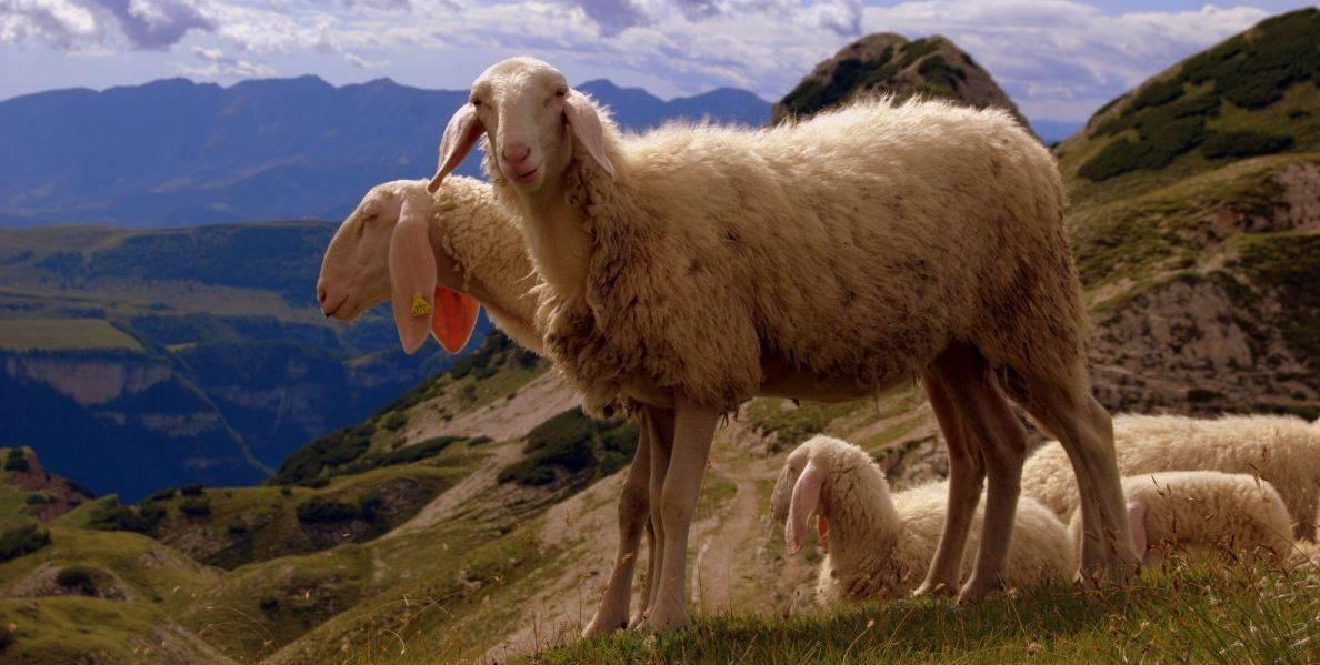 Описание различных пород овец согласно классификации 2021
