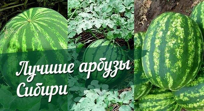 Описание сорта арбуза холодок и особенности его выращивания, сбор и хранение урожая
