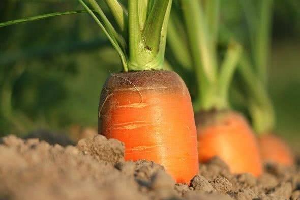 В чем плюсы и минусы посадки моркови в ячейки из под яиц, как ее осуществлять и ухаживать за посевами?