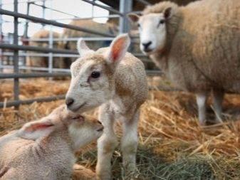 Сарай для овец: выбор материала, пошаговая инструкция строительства, обустройство помещения