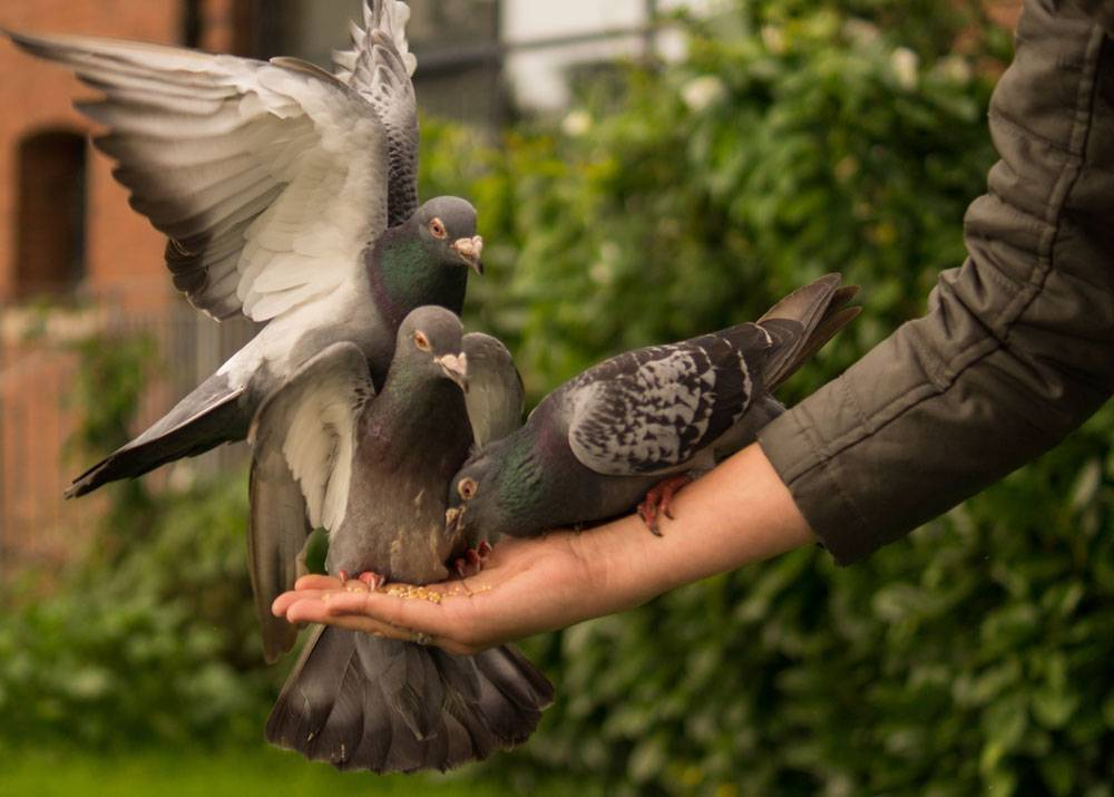 Разведение голубей
