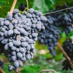 Виноград кодрянка: описание сорта, фото, отзывы садоводов, видео