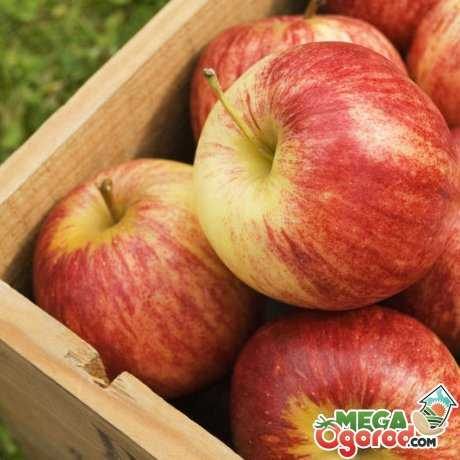 Яблоня сладкая нега: описание сорта, фото, отзывы
