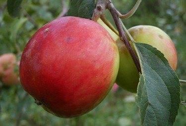 Среднерослая яблоня памяти есаула