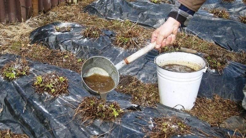 Как подкормить огурцы куриным пометом: технология внесения удобрения