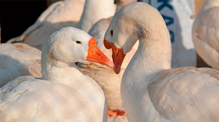 Гуси как отличить самку от самца — гусята породы линда