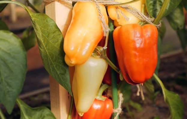 Перец египетская сила - характеристика и описание сорта, фото, урожайность, отзывы овощеводов