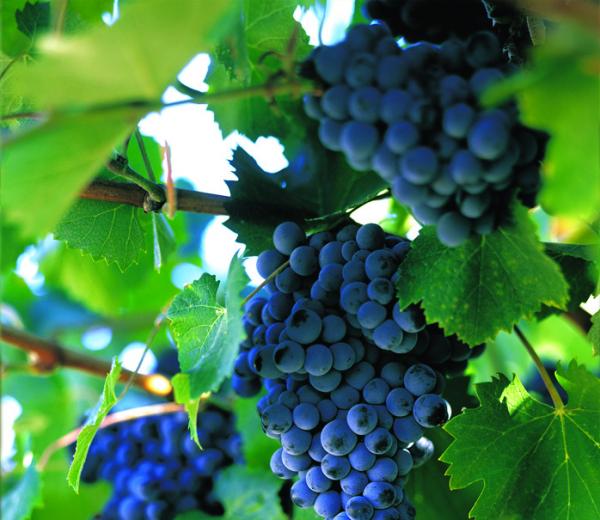 Сорт винограда кишмиш черный: что нужно знать о нем, описание сорта, отзывы