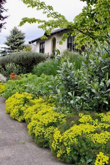 Молочай многоцветковый – самый неприхотливый и распространенный садовый представитель семейства молочайные
