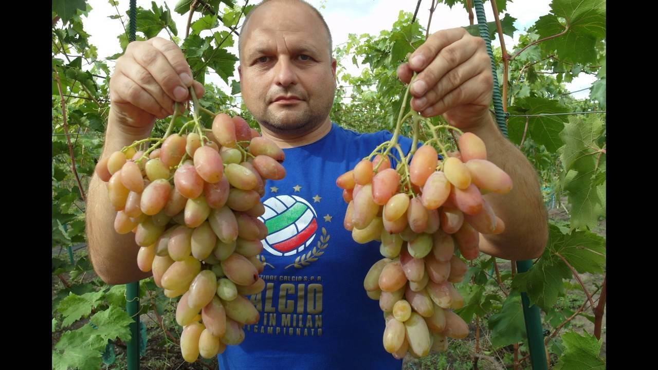 Виноград «гала» - описание и характеристика гибридного сорта