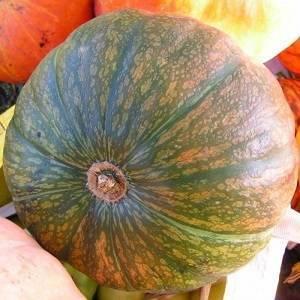 Урожайные сорта тыквы и их выращивание