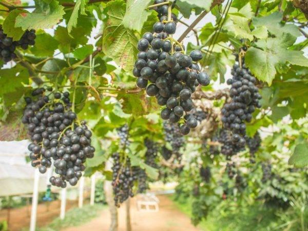 Сорт винограда блэк гранд - агрономы