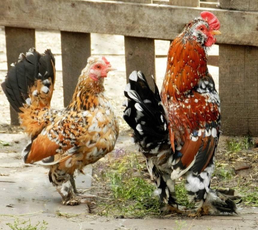 Декоративные куры (26 фото): описание самых красивых пород петухов, содержание маленьких цыплят