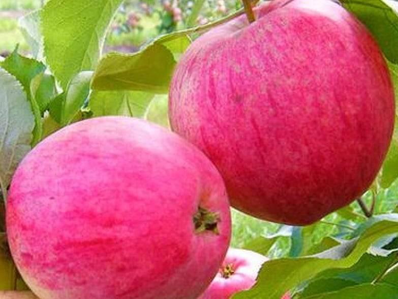 Сорт яблок розовый жемчуг: описание яблони с плодами с розоватой мякотью