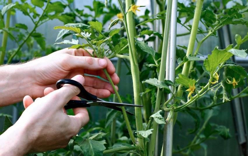 Как ухаживать за помидорами в теплице: правила выращивания тепличных томатов