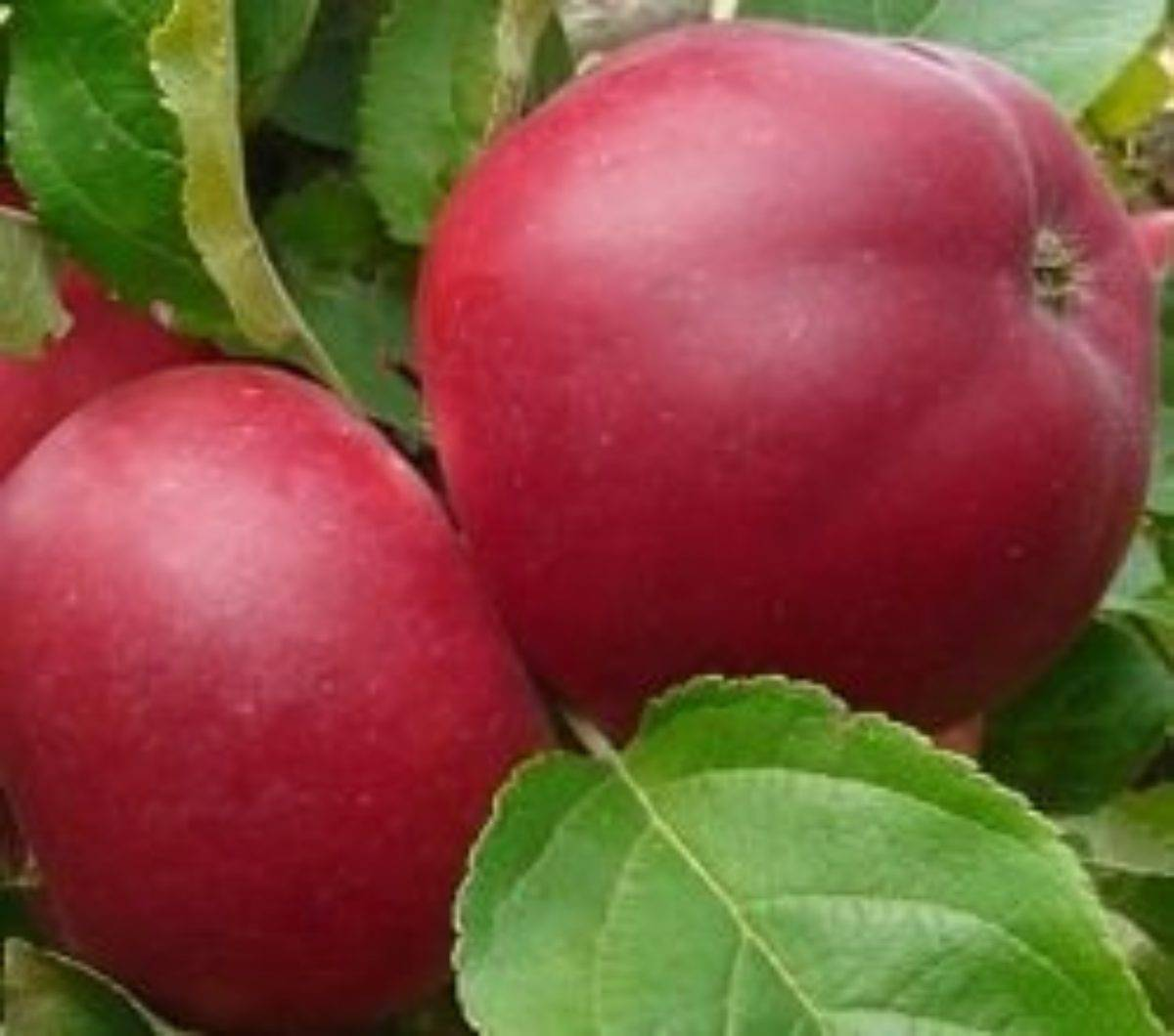 Яблоня подарок графскому: описание сорта и характеристики, посадка и уход