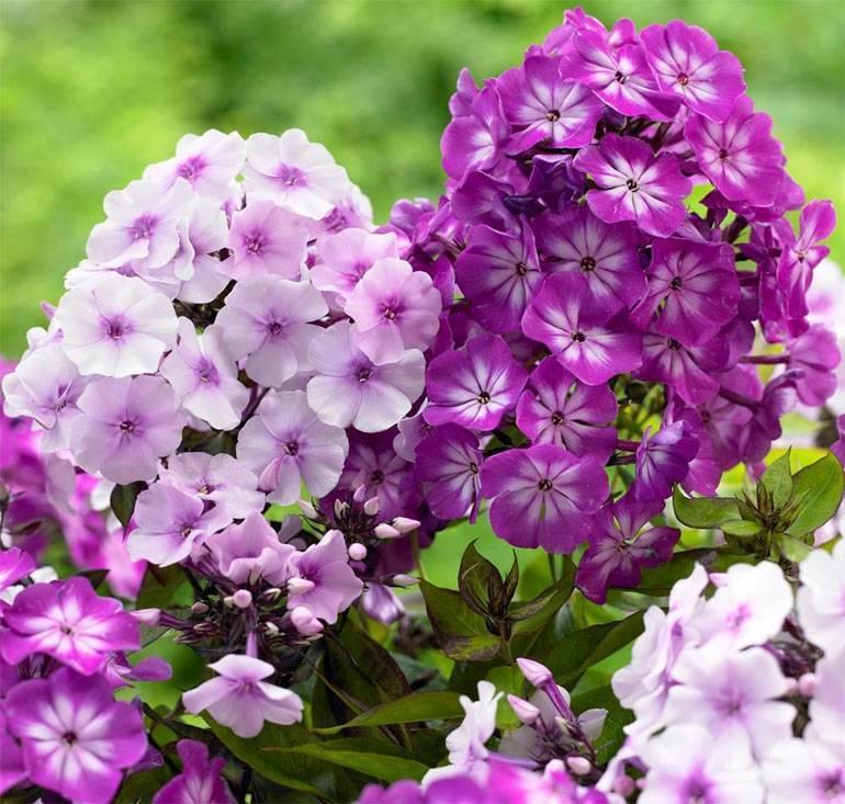 Однолетние флоксы (47 фото): выращивание цветов из семян. как их сажать? уход в открытом грунте. флоксы «звездный дождь» и другие сорта