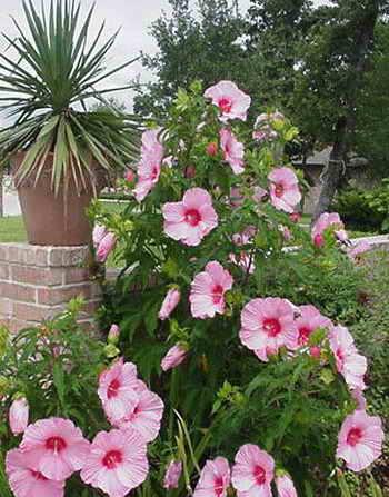 Ухаживание за гибискусом сирийским (hibiscus syriacus)