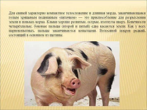 Мини-пиг: описание маленькой свинки, уход и содержание