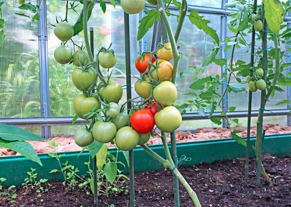 Как правильно высаживать огурцы и помидоры в одной теплице из поликарбоната. создание условий для совместного выращивания