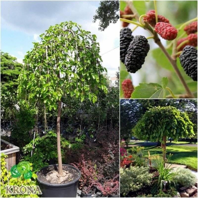 Выращивание шелковицы и уход за деревом пошагово