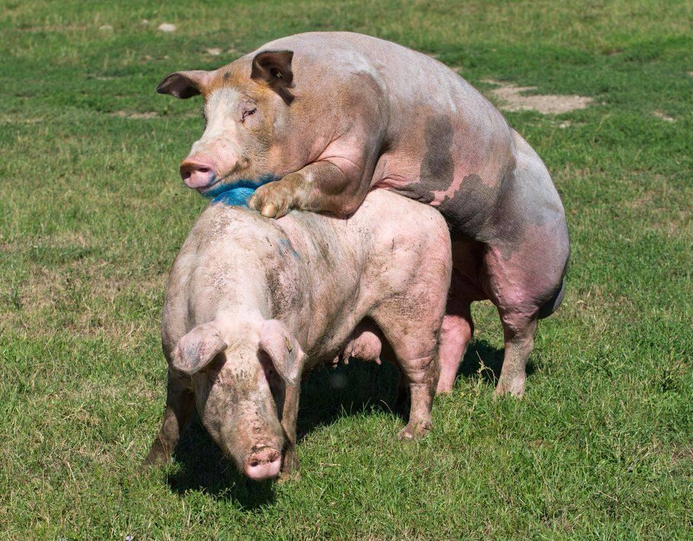 Технология проведения искусственного осеменения свиней