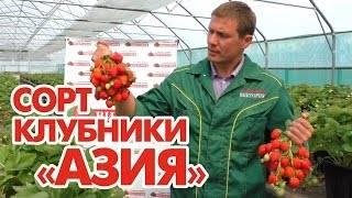 Сорт клубники азия: фото и описание, отзывы, урожайность