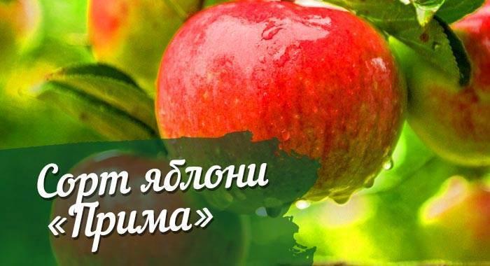Устойчивая яблоня уэлси: описание достоинств