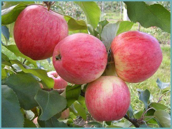 Описание сорта яблони богатырь: фото яблок, важные характеристики, урожайность с дерева