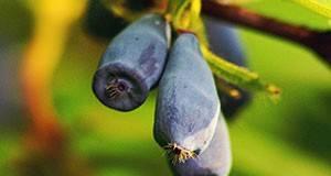 Жимолость: размножение черенками, посадка и уход в открытом грунте, когда сажать, чем полезна?