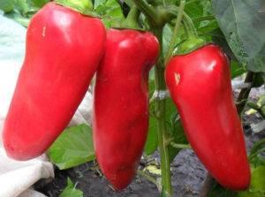 """Перец """"богатырь"""": характеристика сорта и описание особенностей выращивания овощей"""