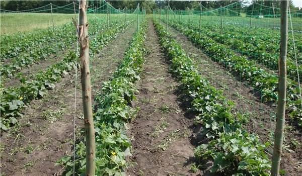 Выращивание огурцов в открытом грунте на шпалерах