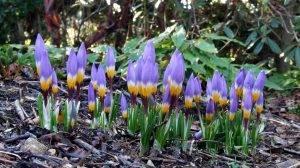 Крокус - фото цветка, посадка и уход в открытом грунте и дома, в горшке, описание видов растения