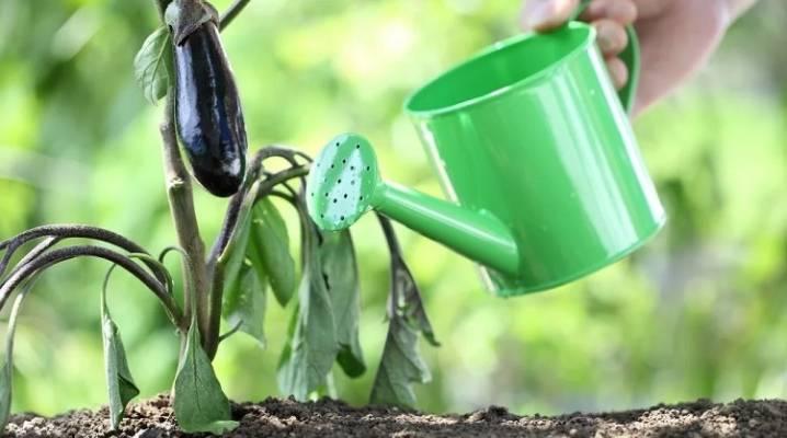 Подкормка баклажанов в теплице: 20 эффективных методов