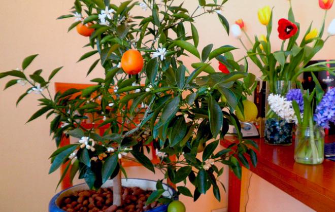 Апельсиновое дерево — уход в домашних условиях за цитрусом