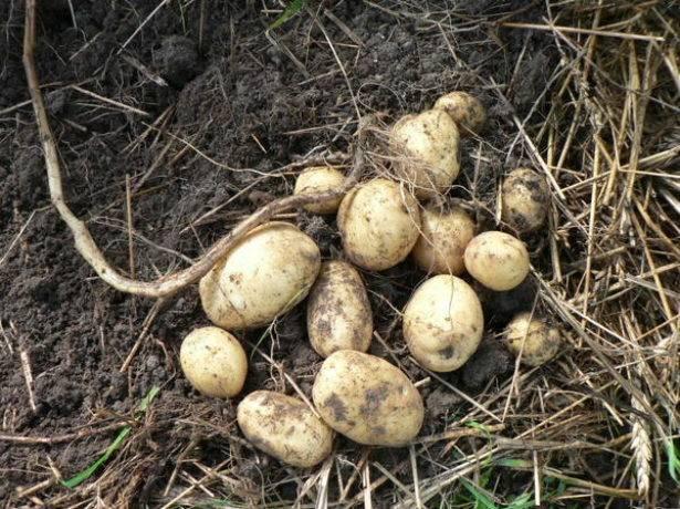 Картофель триумф: описание сорта, фото, характеристика, отзывы