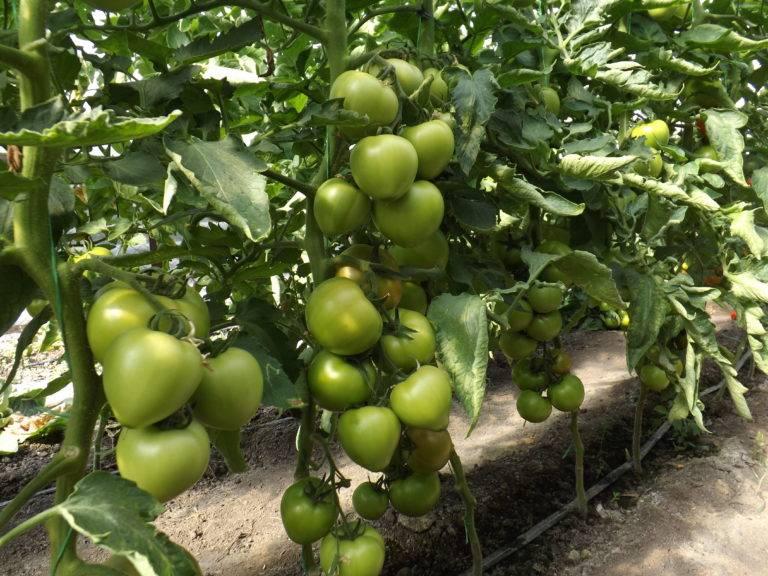 Помидоры кибо: описание сорта и правила выращивания, видео и фото