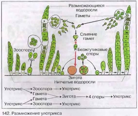 Как и чем размножаются грибы: какими способами, половое и бесполое